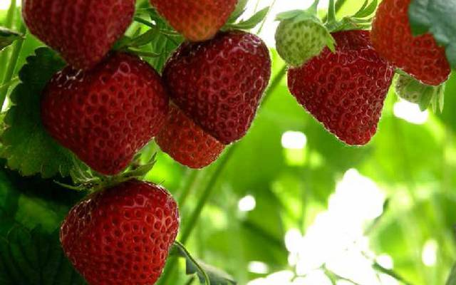 La fresa Mara des Bois. © OTBC
