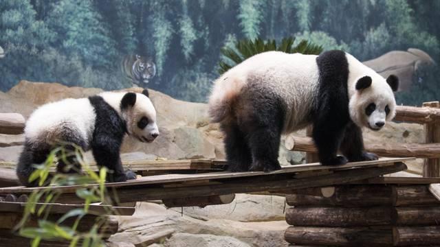 Yuan Meng, el bebé Panda en el ZooParc de Beauval