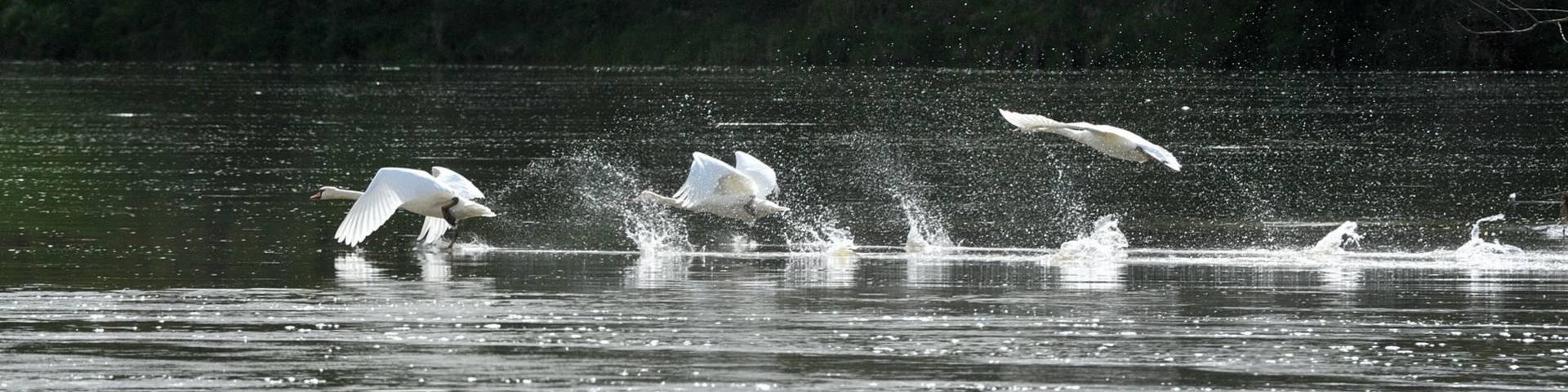 Vuelo de cisnes sobre el río Loira