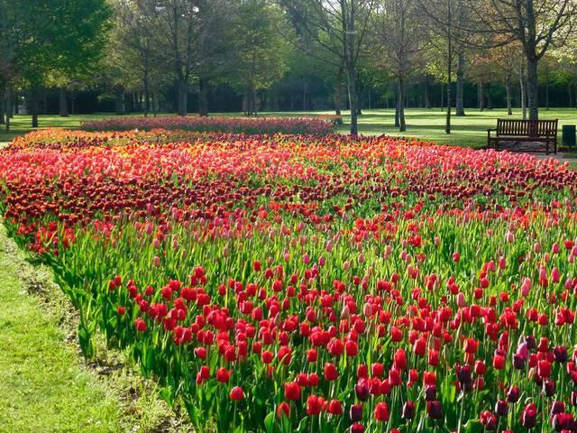Los 100.000 tulipanes del Castillo de Cheverny. © OTBC