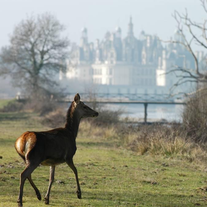 Joven ciervo en la naturaleza de Chambord